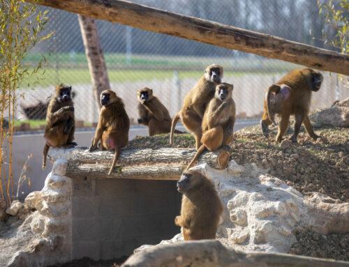 La Tanière offre une nouvelle vie à 15 babouins de Guinée
